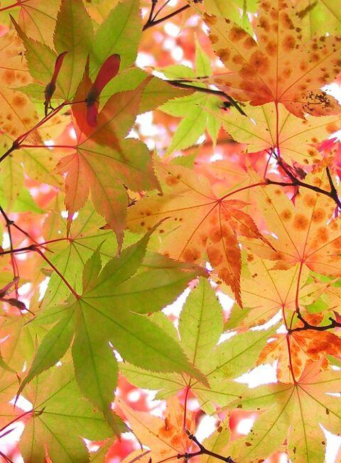 初秋的叶.jpg