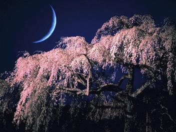 樱花与新月.jpg